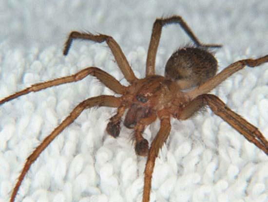 brown recluse spider pest control