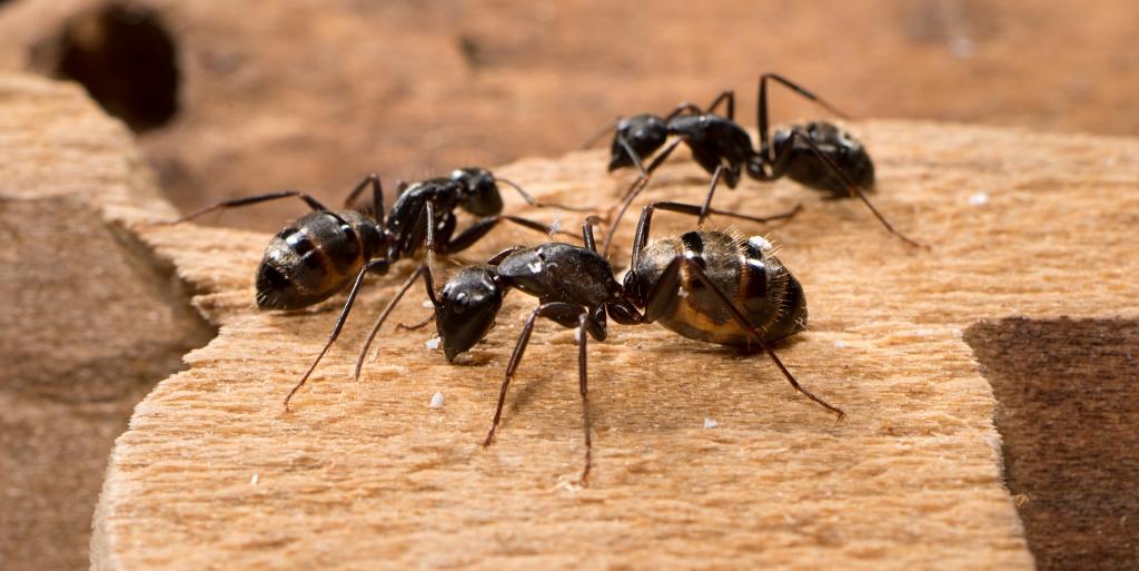 Carpenter Ants Pest Solutions