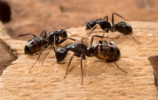 Carpenter Ants Pest Solutions