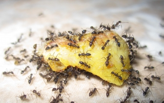 Ants Pest Solutions