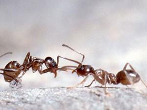 argentine ant pest control