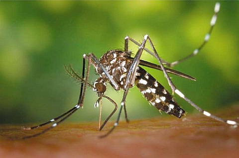 asian tiger mosquito pest control