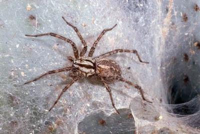Funnel web spider pest control