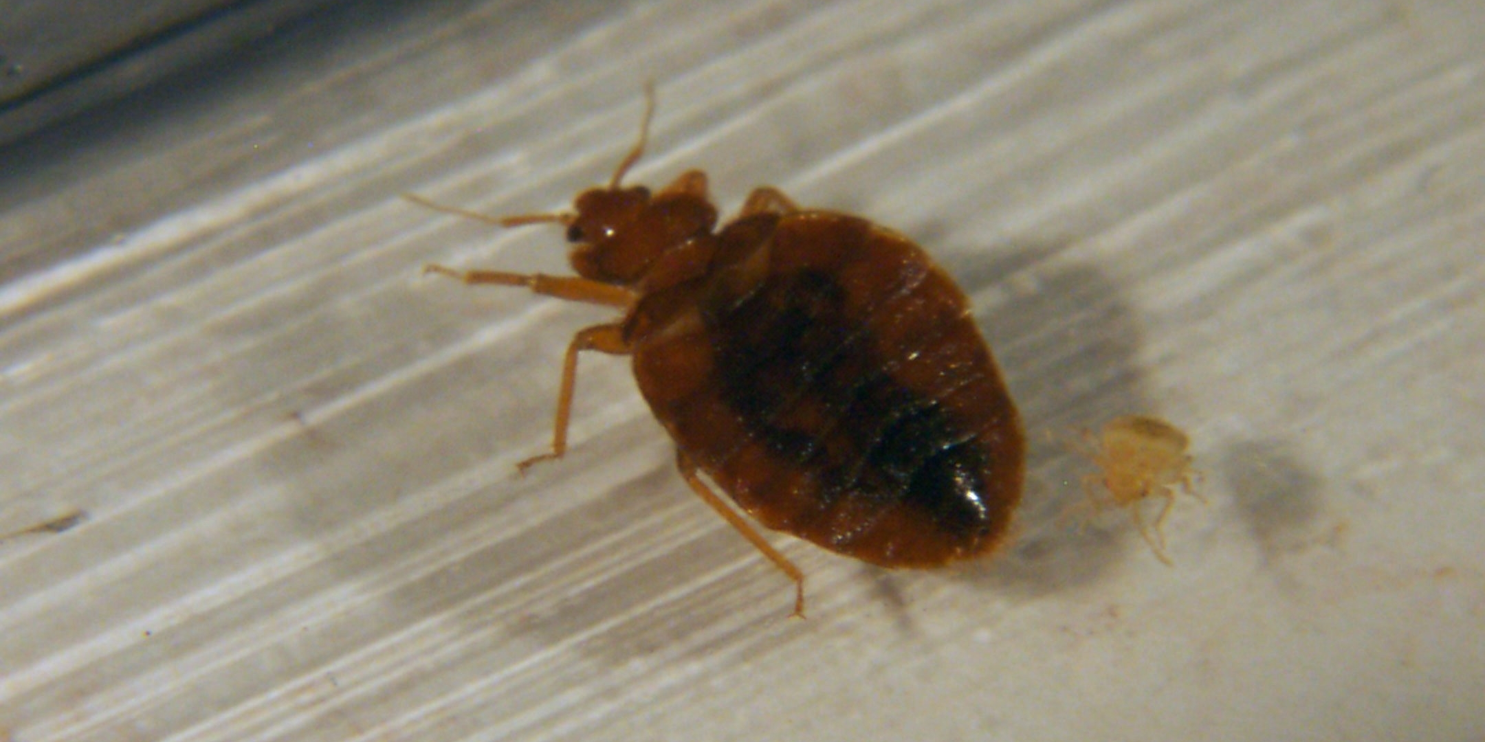 The Facts About Bedbugs