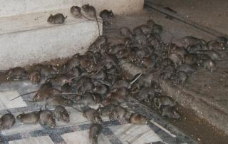Rats Pest Solutions