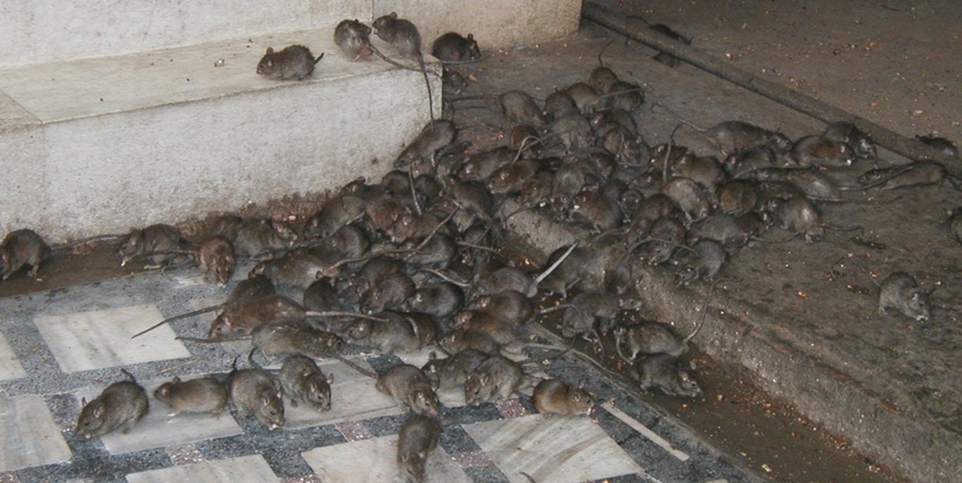 Related Keywords amp Suggestions For Mouse Infestation