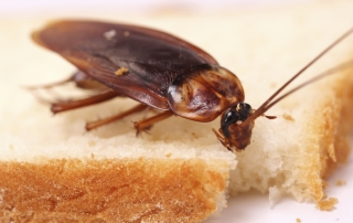 Roaches Pest Control Solution