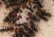 odorous house ant pest control