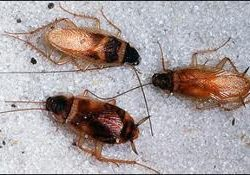 brown banded cockroach pest control